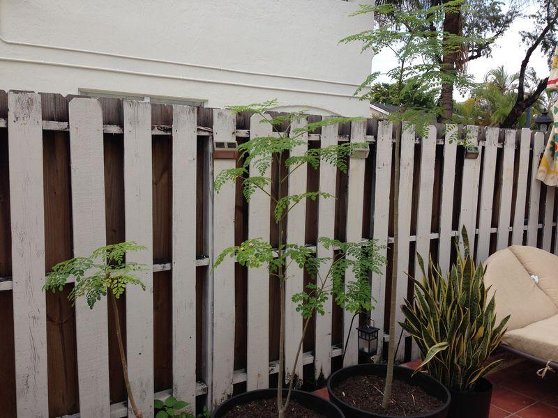 Moringa Trees 1-13-14